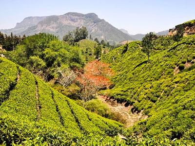 plantations et cultures de thé en inde du sud dans le kerala à munnar . www.thisytravels.fr