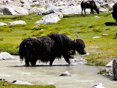 voyager au ladakh en inde du nord sur les contreforts de l'himalaya croiser les yacks www.thisytravels.fr