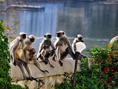 les singes a udaipur la venise de l'inde dans le rajasthan avec les voyages de thisy-travels www.thisytravels.fr