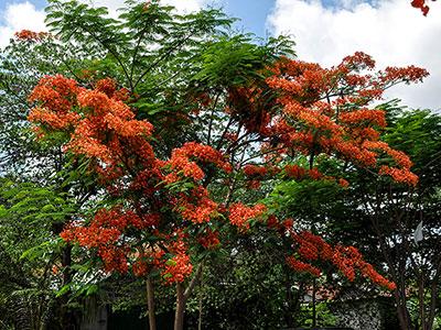 au cambodge arbre flamboyant dans les campagnes à découvrir avec Thisy-Travels www.thisytravels.fr