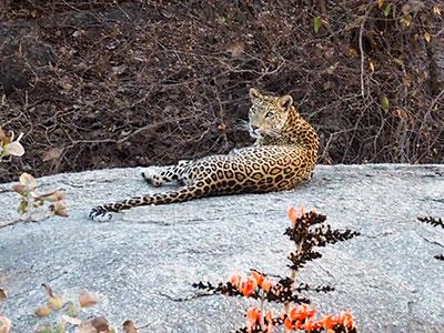 voyage dans le rajasthan en inde du nord avec les leopards de jawai avec l'agence de voyage thisy-travels www.thisytravels.fr